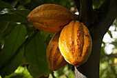 Cocoa fruits, Plant, Leaves, Beans, Cocoa fruit, A cocoa plant with fruits, Basse-Terre, Guadeloupe, Caribbean Sea, America