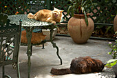 Cats in Ernest Hemingway Home and Museum, Key West, Florida USA
