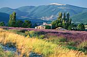 Landscape with lavender field at Simiane la Rotonde, Alpes de Haute Provence, Provence, France, Europe