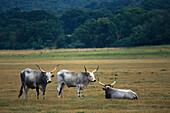 Cattle,  Wildlifepark Maremma, Parco Naturale di Maremma, Tuscany, Italy