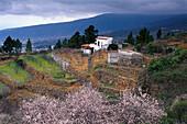 Almond in blossom, b. Arafo, Tenerife, Canary Islands, Spain