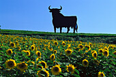 Sunflower field and silhouette of a bull in the sunlight, Cadiz, Andalusia, Spain, Europe