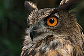 Close up of an Eagle owl, Owl, Bird of Prey, Animal