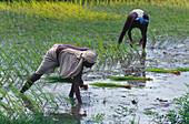 People planting a rice paddy, Sitamarhi, Muzaffarpur, Bihar, India, Asia