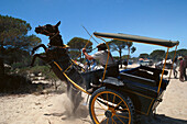 A pilgrim's coach horse bolting, Donana National Park Andalusia, Spain