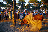 Agitated ox in front of devotional pilgrims in the morning sun, Andalusia, Spain