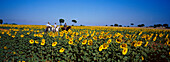 Riding across sunflower fields, El Rocío, Pilgrimage Andalusia, Spain
