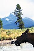 Elk, Rocky Mountains, Alberta, Canada