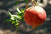Close up of a pomegranate, Fruit, Oase, Tozeur, Tunesia