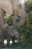 African Elephants, Cow and Calf feeding, Addo Elephant Park, Eastern Cape, South Africa, Africa