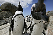 Colony of african penguins, boulder beach near Simons Town, Western Cape, South Africa