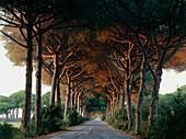 Pine avenue, Parco Naturale di Maremma, Natural Preserve, Tuscany, Italy