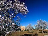 Almond Blossom near Santanyi, Majorca Spanien