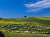Schafherde in der nähe von Pienza, Toscana, Italien