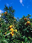 Orange Tree in a plantation, La Granja, Majorca, Spain