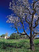 Almond tree in blossom, wind turbine in the background, Santanyi, Majorca, Spain