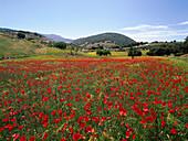 Mohnblumen und idyllische Hügellandschaft, Puerto Lopez, Provinz Granada, Andalusien, Spanien, Europa