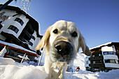 Playful dog, Kuehtai, Tyrol, Austria