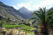 Palms in the valley of El Risco near Agaete, Gran Canaria, Canary Islands, Spain