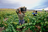 Grape harvest, Briones, near Haro, La Rioja, Spain