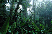 Vegetation at Cloud Forest Reservation, Monteverde, Costa Rica, Central America, America