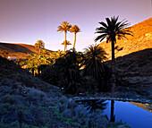 Palmenhain, bei Ajuy, Fuerteventura Kanarische Inseln, Spanien