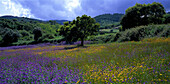 Blumenwiese, bei Cercal, bei Santiago do Cacem Alentejo, Portugal