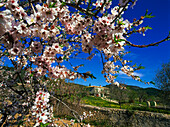 Almond trees, blossom, Majorca, Spain