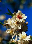 Almond blossoms, close-up, Majorca, Spain