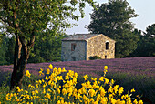 Broom, lavender field and house in the sunlight, Alpes de Haute Provence, Provence, France, Europe