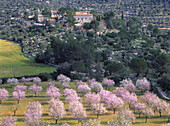 Almond trees in blossom, estate, Serra Tramuntana, Mallorca Balearen, Spain
