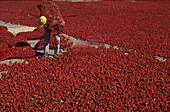 Drying red peppers, La Aparecida, near Orihuela, Province Alicante, Valenciana, Spain
