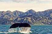 Fluke of a sperm whale off shore, Kaikoura, New Zealand, Oceania