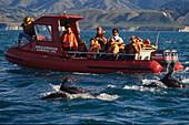 Dolphins folllow Whalewatch boat, NZ, Dolphins follow the tourist boat at Kaikoura, Delfine begleiten das Boot, whale watching