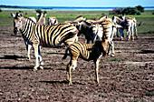 Group of Zebras, Etoscha, Etoscha, South Africa, Africa