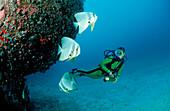 Longfin Batfishes and Diver, Platax Teira, Maldives, Indian Ocean, Meemu Atoll