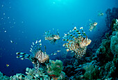 Rotfeuerfisch, Rotfeuerfische, lionfish, turkeyfis, turkeyfish, Pterois volitans