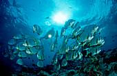 Pinnate batfish and scuba diver, Platax pinnatus, Malaysia, Sipadan, Borneo, Celebessee