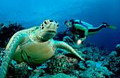 Green Turtle and Diver, Chelonia mydas, Malaysia, Sipadan, Borneo, Celebessee