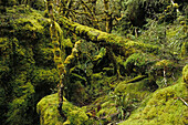 Moss covered forest, NZ, Moss-covered forest, Routeburn Track, one of New Zealand's Great Walks, 3-5 Tage subalpine forest, mountain and southern beech, Mount Aspiring and Fiordland National Park