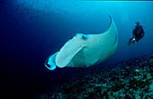 Mantarochen und Taucher, Manta ray and scuba diver, Manta birostris