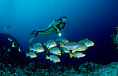 Diver with Oriental Sweetlips and Humpback Snappers, Plectorhinchus orientalis, Maldives, Indian Ocean, Meemu Atoll