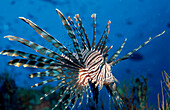 Lionfish, Turkeyfish, Pterois volitans, Indonesia, Bali, Indian Ocean