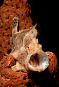 Gaehnender Kroetenfisch, Longlure Frogfish, Antennar, Antennarius multiocellatus
