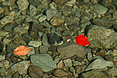 Red leaf on water surface above stones, New Zealand, Oceania