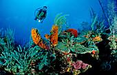 Karibisches Korallenriff und Taucher, Carribbean r, Carribbean reef and scuba diver