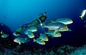 Orient-Suesslippen und Taucher, Oriental sweetlips a, Oriental sweetlips and scuba diver, Plectorhinchus vittatus