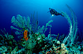 Scuba diver and coral reef, Bahamas, Caribbean Sea