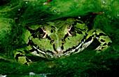 Wasserfrosch, frog, water frog, Rana esculenta