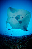 Manta ray, Manta Birostris, Maldives, Indian Ocean, Meemu Atoll